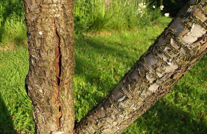 Морозобоина на коре дерева
