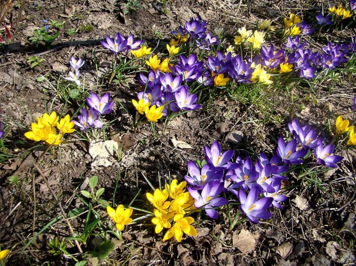 Цветение первоцветов в саду