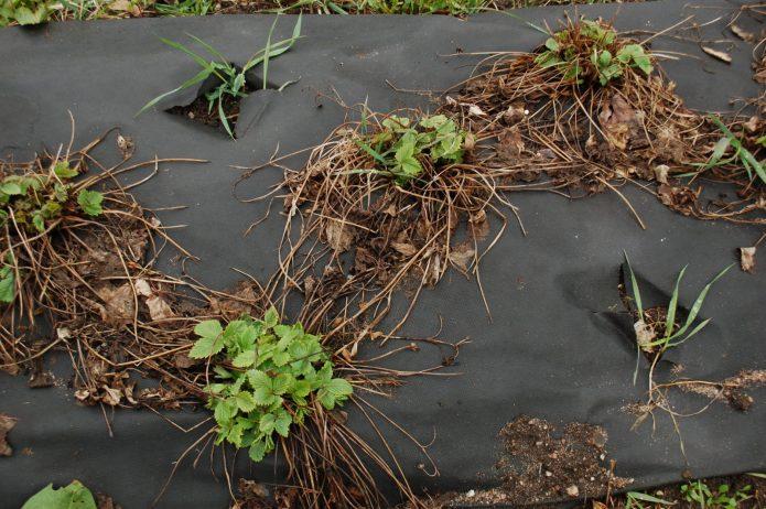 Грядки клубники после зимовки