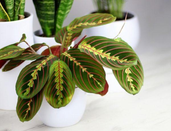 Уход за марантой в домашних условиях: как угодить растению с листьями, словно диковинные перья