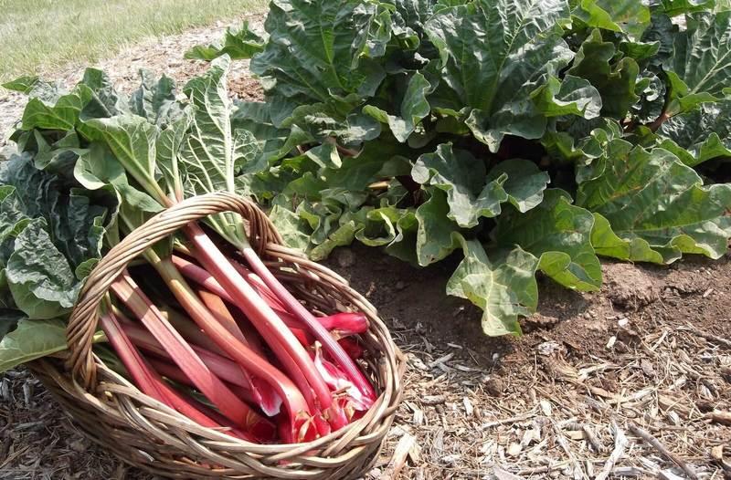 Про выращивание ревеня: сорта, посадка и уход в открытом грунте