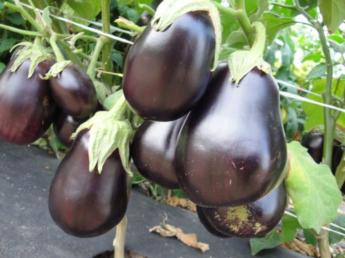 Плоды баклажана Щелкунчик