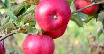 яблоки Айдаред