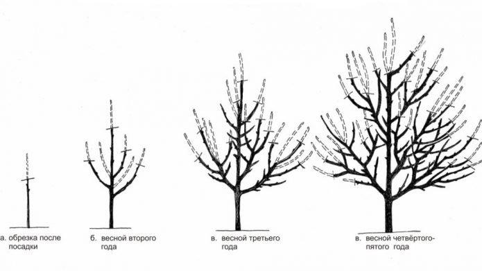 Улучшенно-ярусная формировка плодового дерева