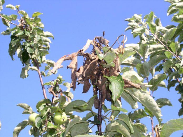 Дерево, пораженное бактериальным ожогом