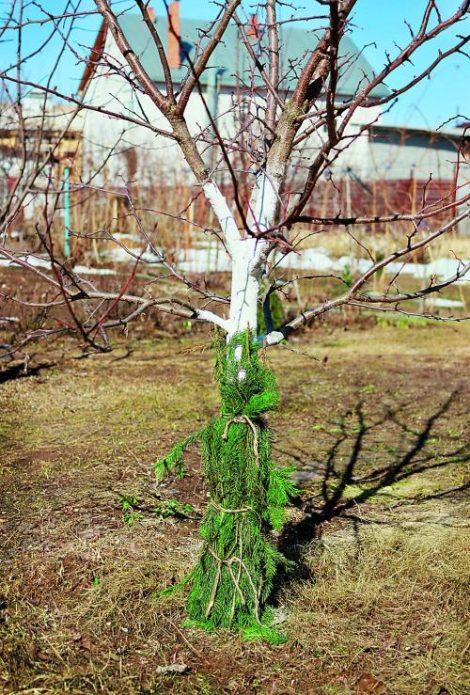 Дерево в еловом лапнике