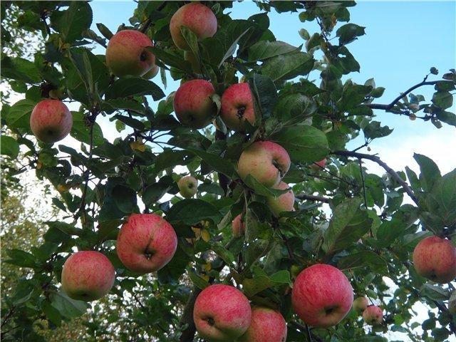 Яблоня Штрифель во время плодоношения