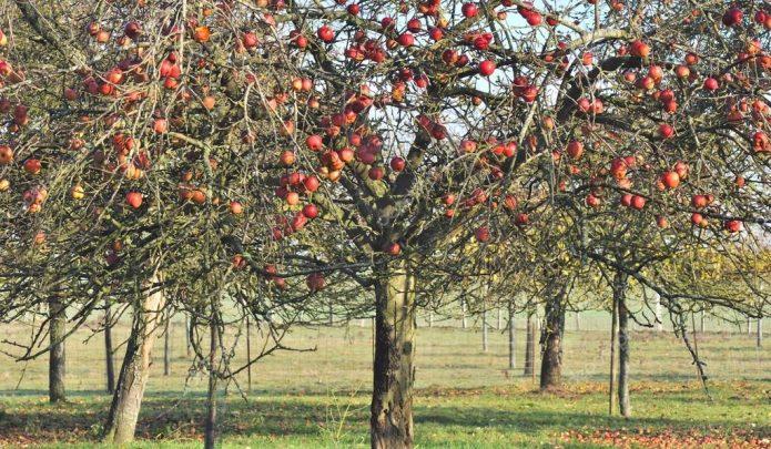 Взрослая яблоня Штрифель