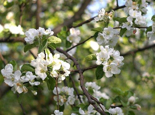 Цветение яблони Штрифель