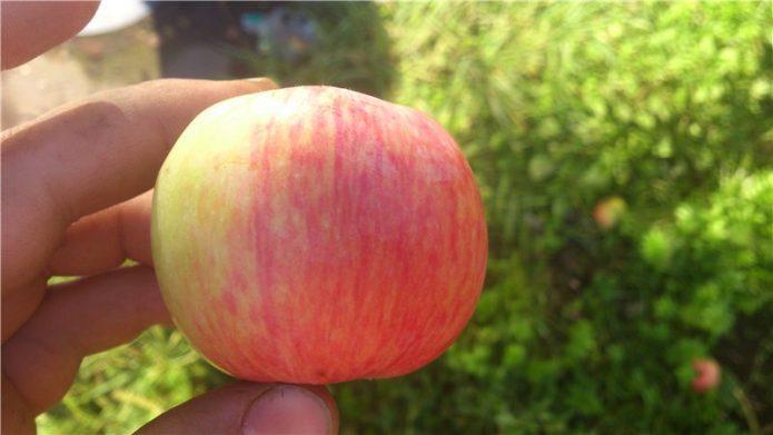 Яблоко сорта Штрифель
