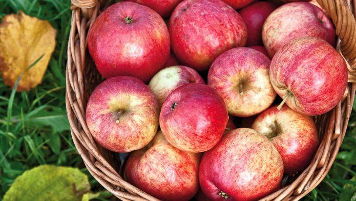 Урожай яблок Штрифель