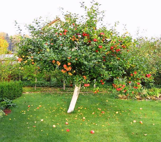 Подходящее место для яблони
