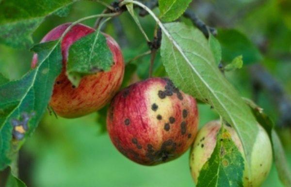 Парша яблок