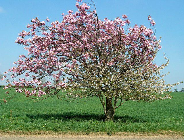 Яблоня Мантет в пору цветения
