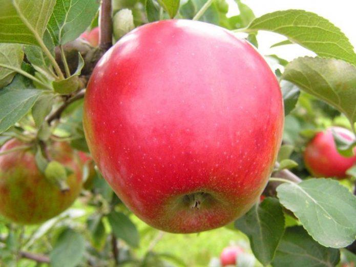 Плоды сорта Коваленковское