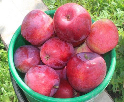 Урожай яблок сорта Коваленковское