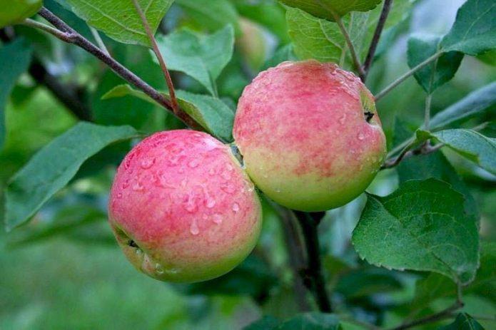 Яблоки сорта Мантет