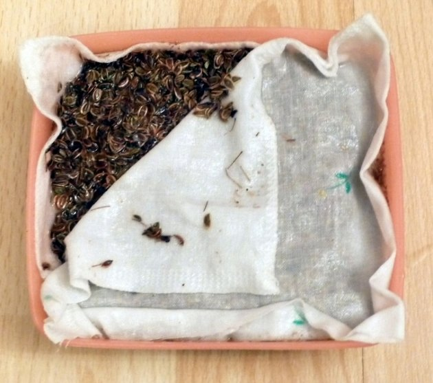 Замоченные семена укропа в марле