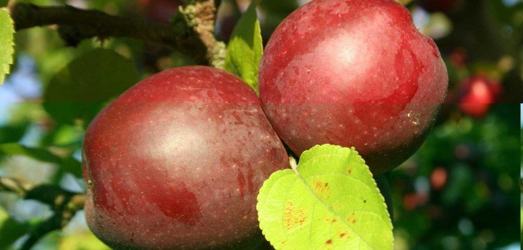 яблоко спартан