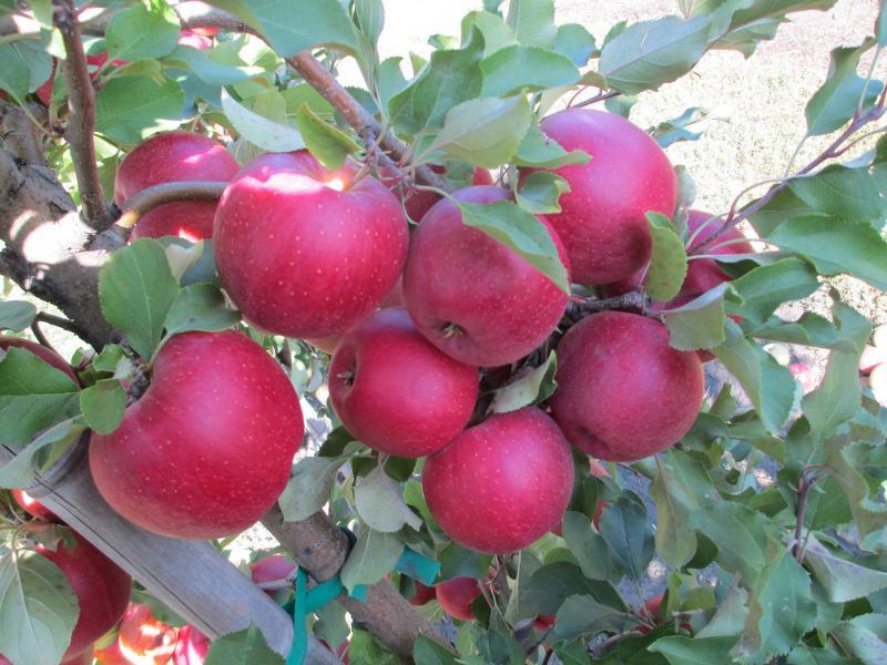 Сорт яблони рено чемпион