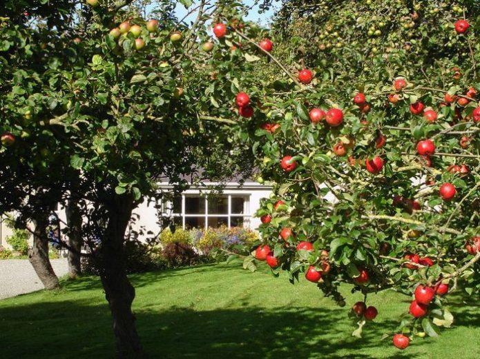 Яблоня на солнечном участке