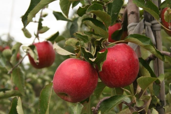 Сорт яблони Пирос