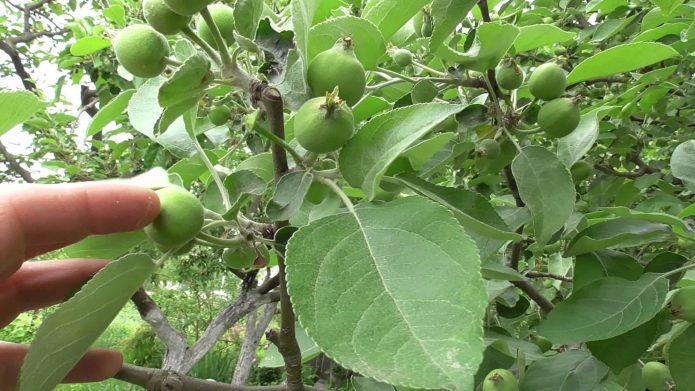 Нормирование урожая яблони