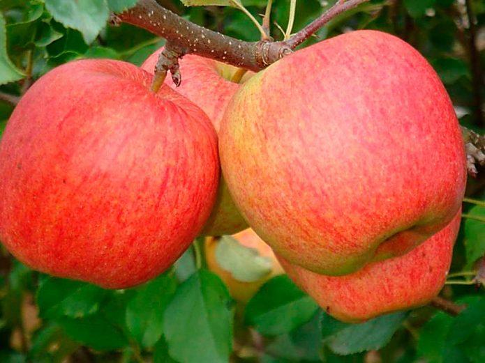 Яблоки Чемпион на ветке