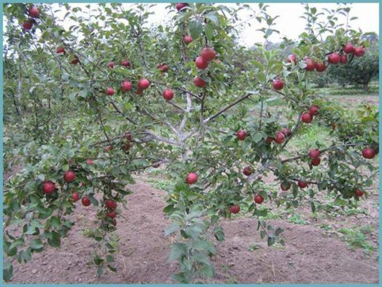 Взрослая яблоня сорта Коваленковское