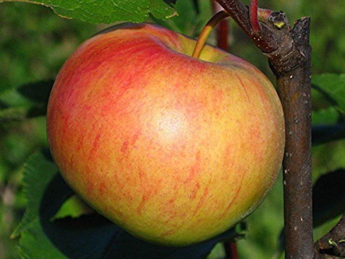 Яблоко сорта Медуница