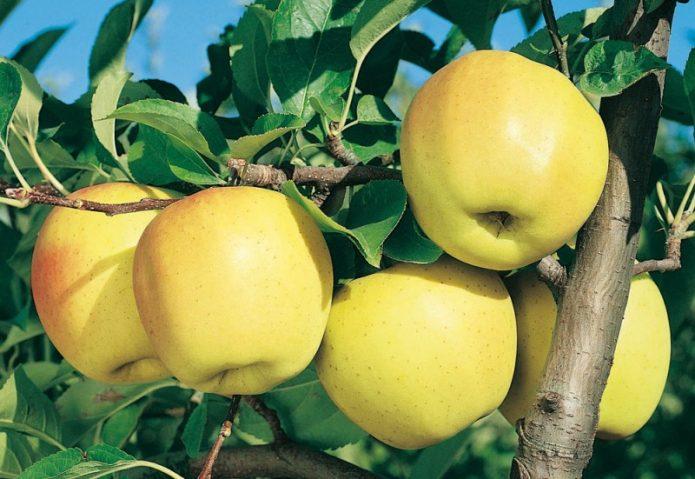 Яблоки сорта Голден делишес на ветке