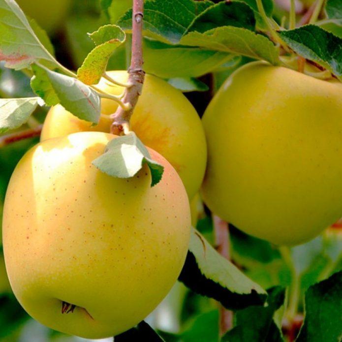 Зрелые яблоки на ветке