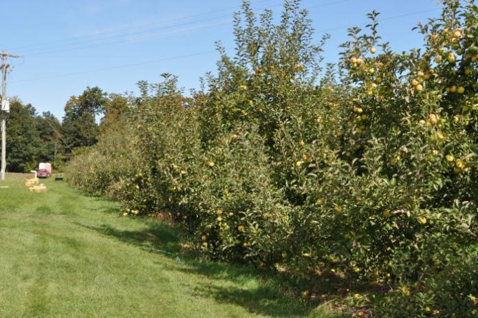 Яблоневые деревья