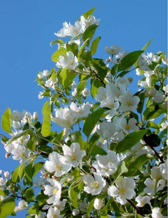 Цветущая яблоня Ренет Симиренко