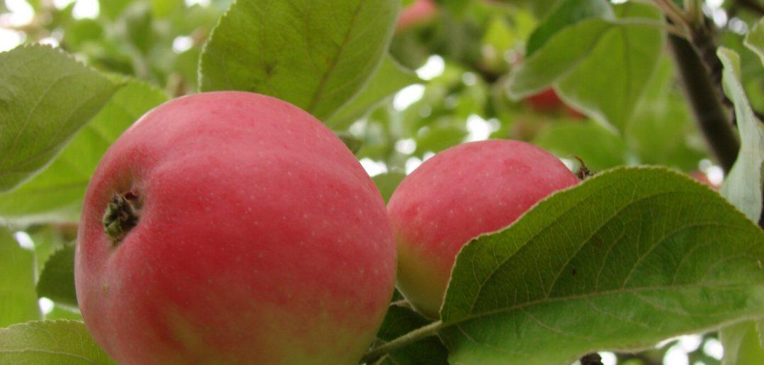 Яблоко Медуница