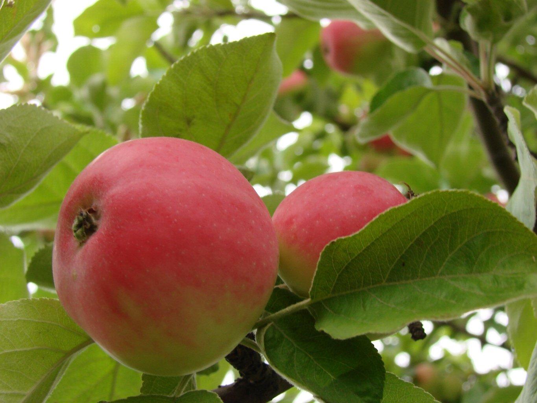 Яблоня сорт медуница описание фото