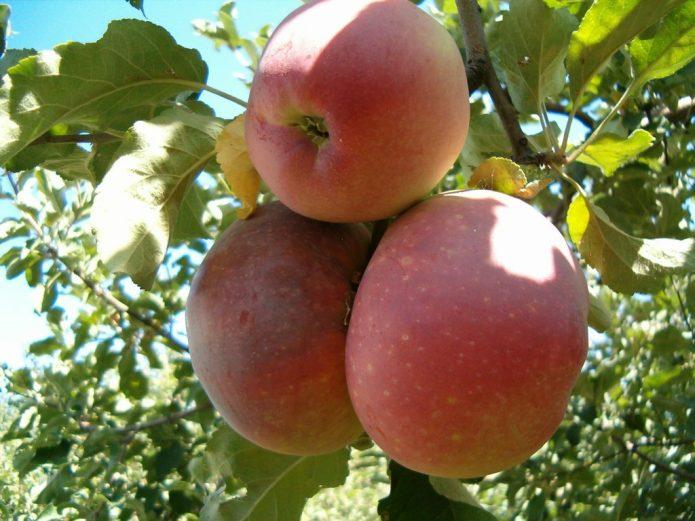 Созревшие яблоки Апорт