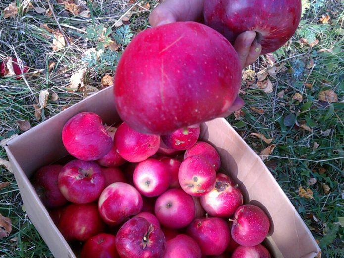 Урожай яблони Апорт