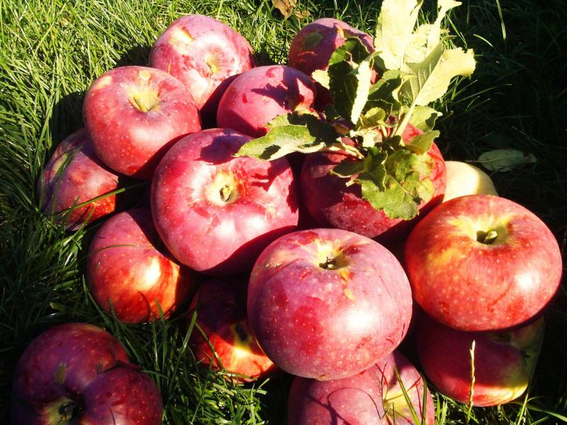 Описание и разновидности яблони сорта Апорт