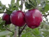 Сорт яблони Чёрный принц