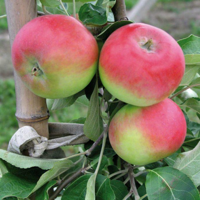 Яблоки сорта Женева Эрли