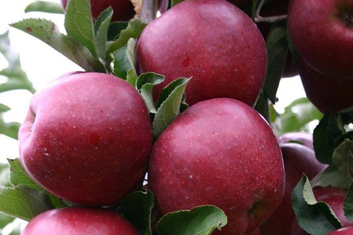 Плоды яблони сорта Чёрный принц