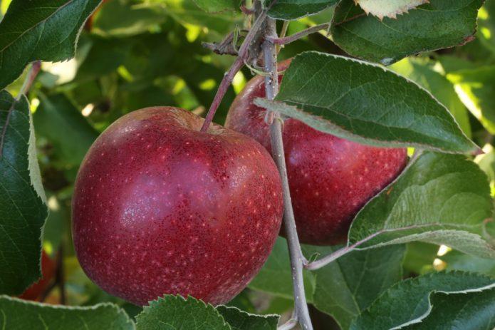 Яблоки сорта Чёрный принц