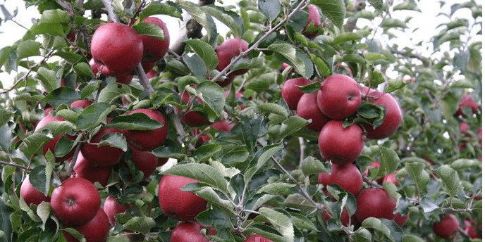 Плодоносящие яблони сорта Чёрный принц