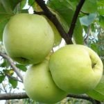 Сорт яблони Антоновка