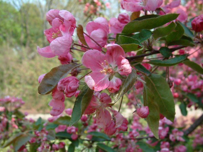 Цветение яблони Уэлси