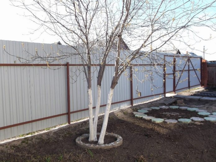 Дерево с побеленным штамбом возле забора