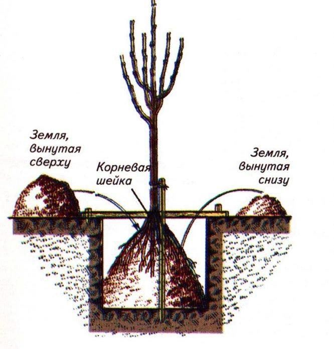 Схема расположения саженца в яме