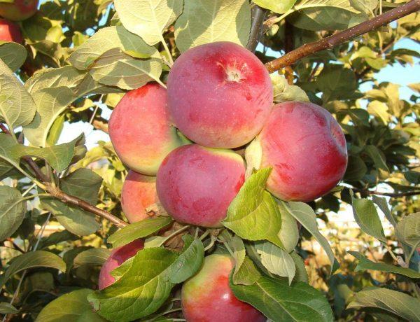 Яблоня Орлик – лидер вкуса среди сортов для центральной России
