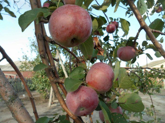 Плоды яблони Орлик